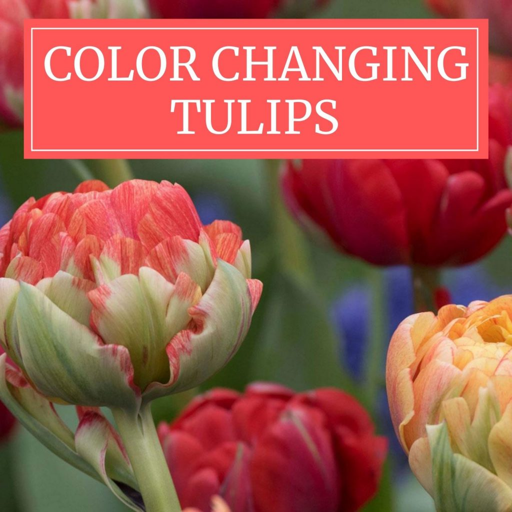 Color-Changing-Tulips - Longfield Gardens
