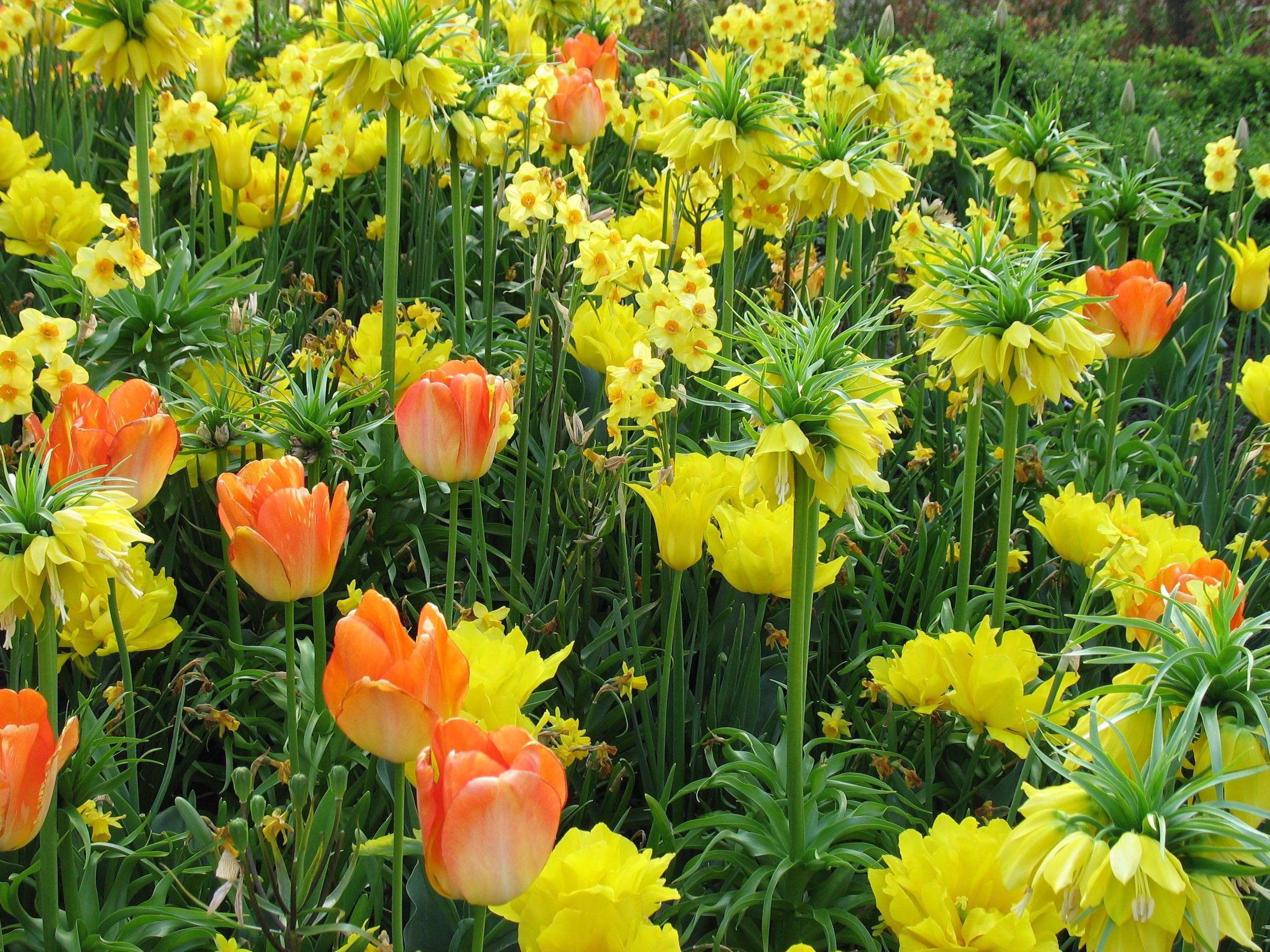 Holland_Keukenhof tulips narcissus fritillaria