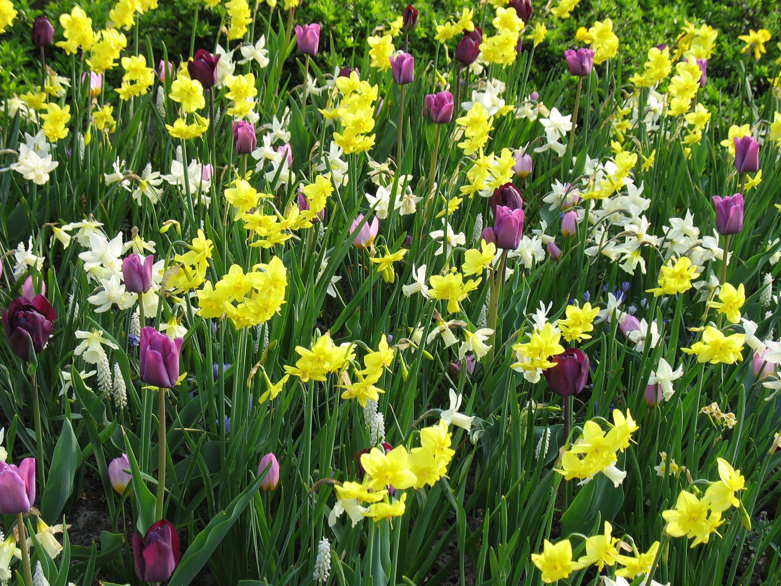 Holland Keukenhof naturalized spring bulbs