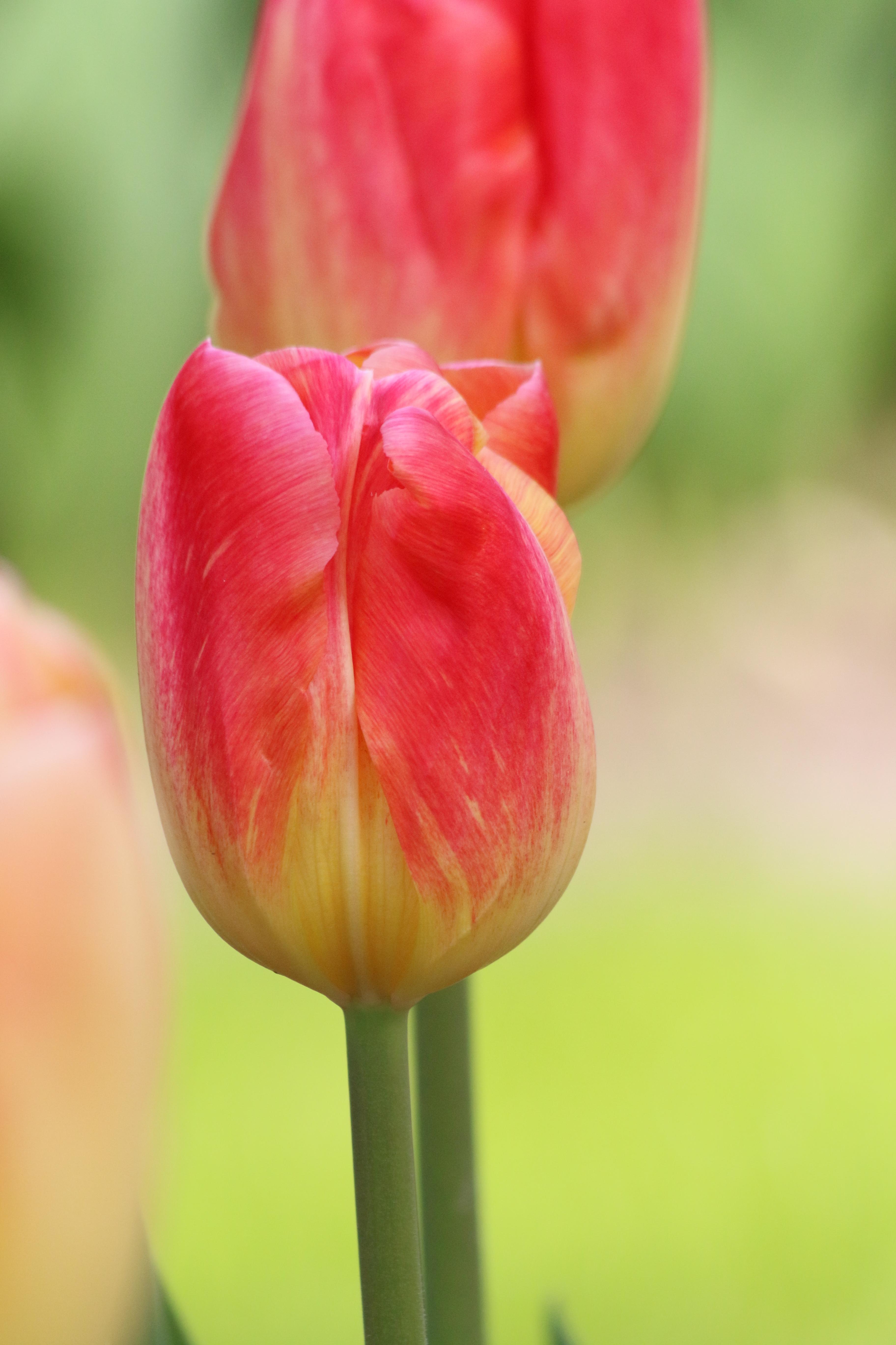 montevideo_triump_tulip