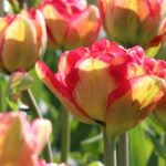 Color-Changing Tulips: New Varieties for Fall 2015