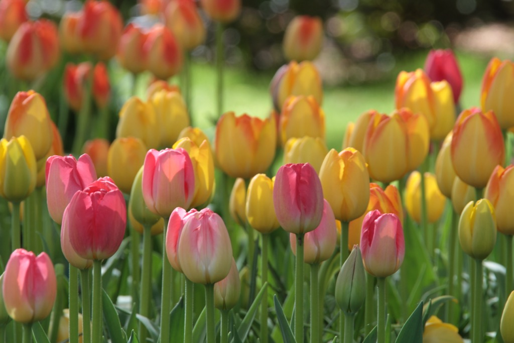 Leyster_tulips