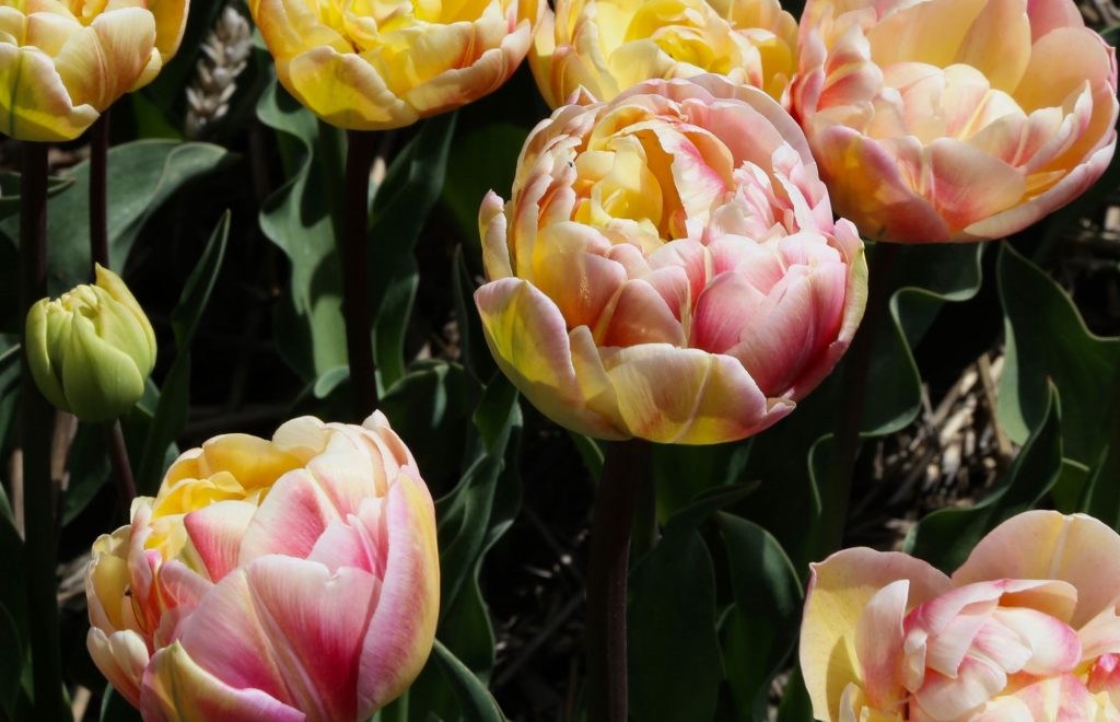 Color Changing Tulips - Longfield Gardens