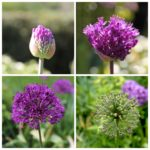 Plant Ornamental Allium Bulbs Now for Flowers Next Spring