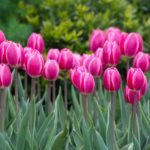 Want Bigger, Brighter Tulips? Plant Hybrids!