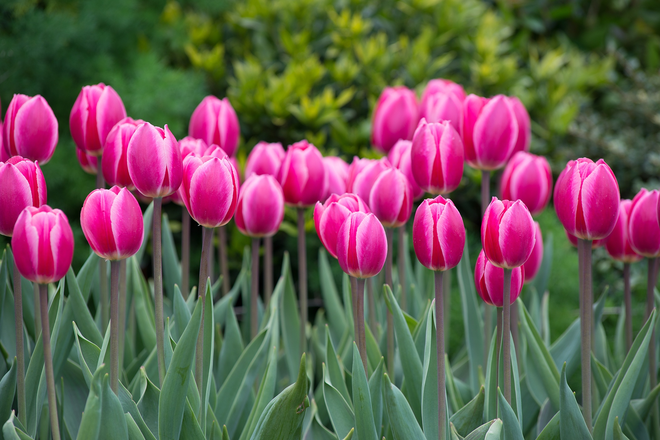 Want Bigger Brighter Tulips Plant Hybrids Longfield