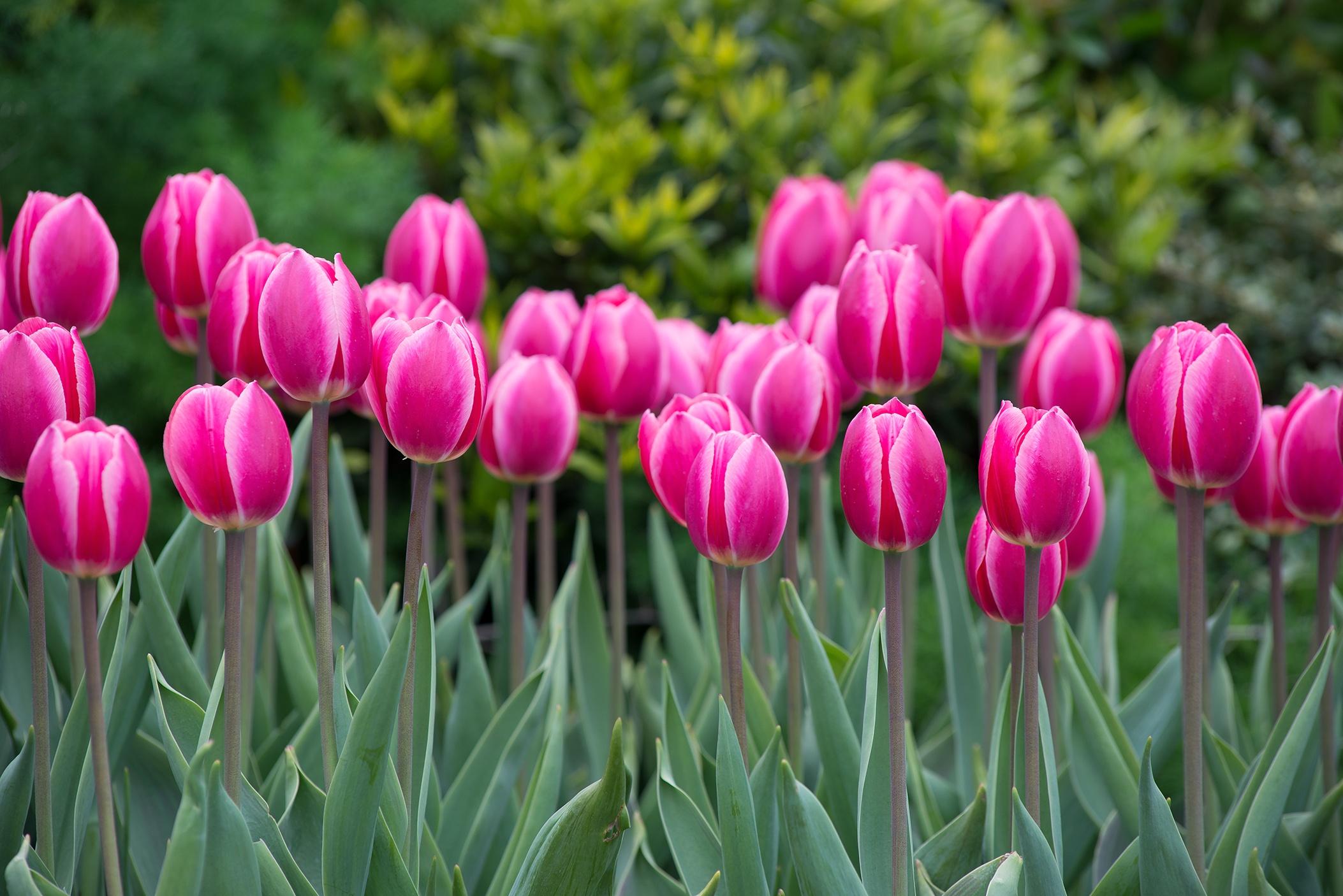 pink_hybrid_tulips