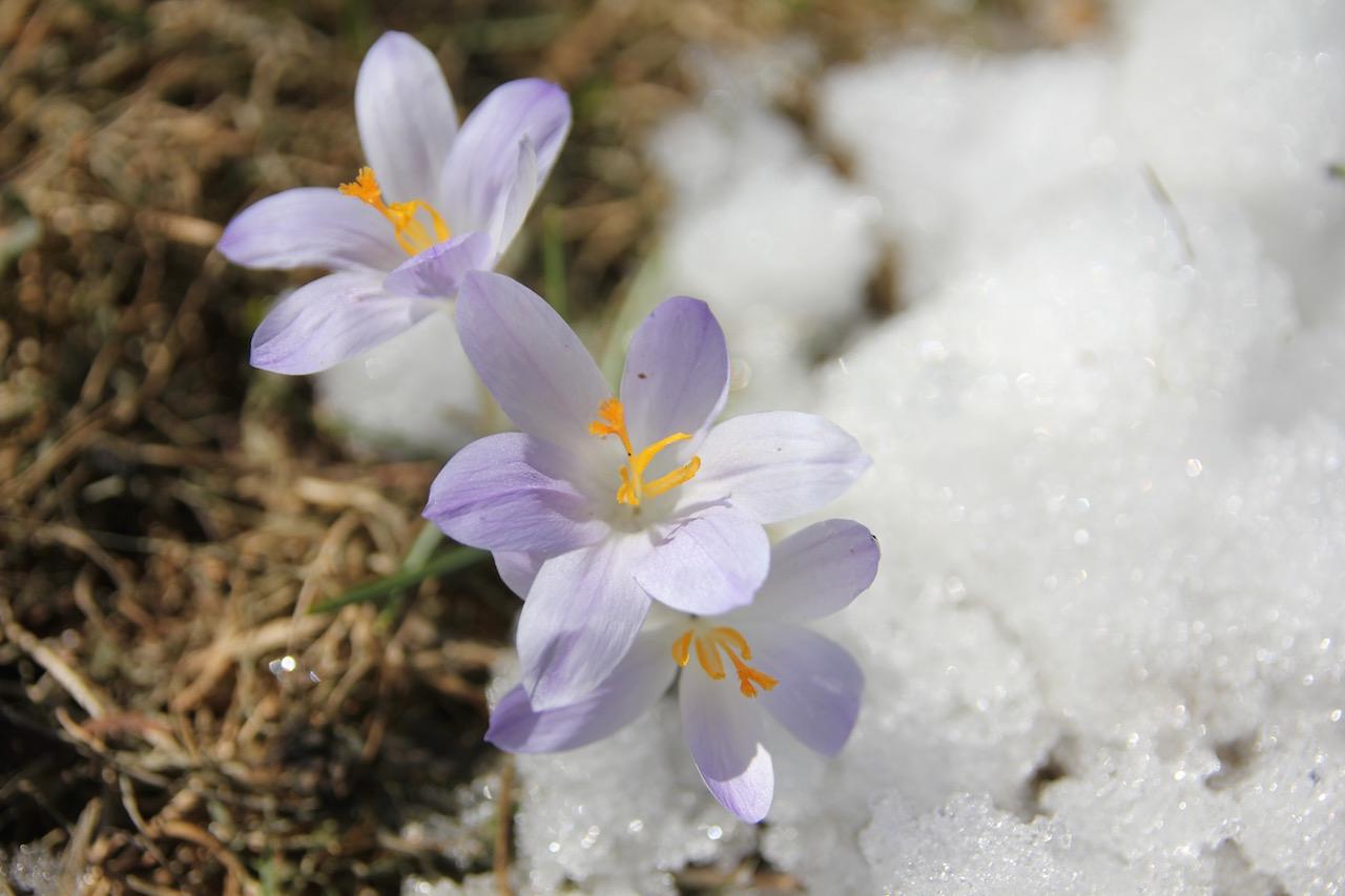 species crocus in snow