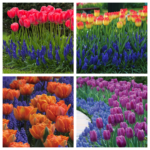 Perfect Pairs: 3 Ways to Combine Muscari with Tulips or Daffodils