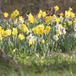 Planting Tips for Naturalizing Daffodils