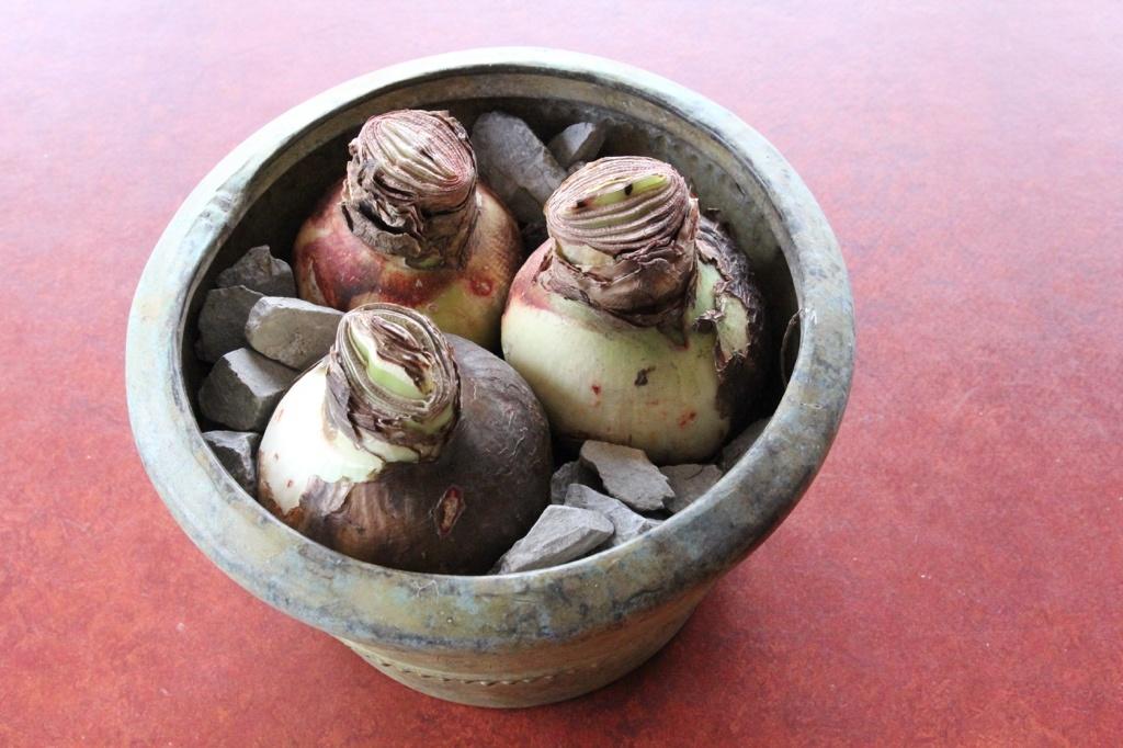 three amaryllis bulbs in a copper pot