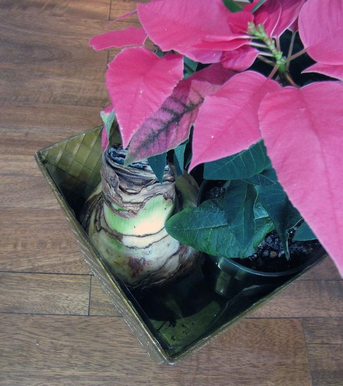 planting amaryllis garden