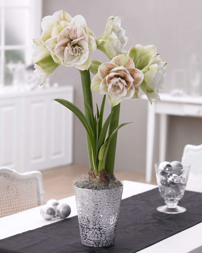 Nymph amaryllis in silver pot