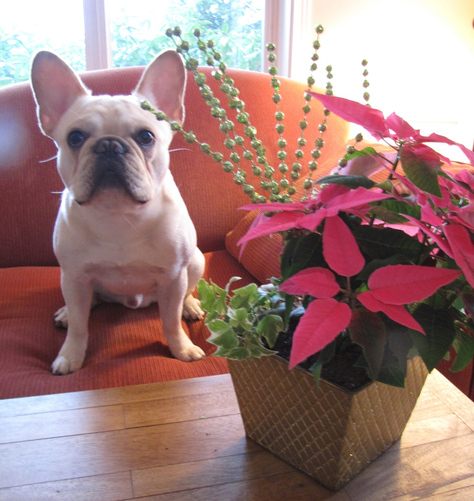 French bulldog with amaryllis garden