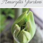 How to Plant an Indoor Amaryllis Garden