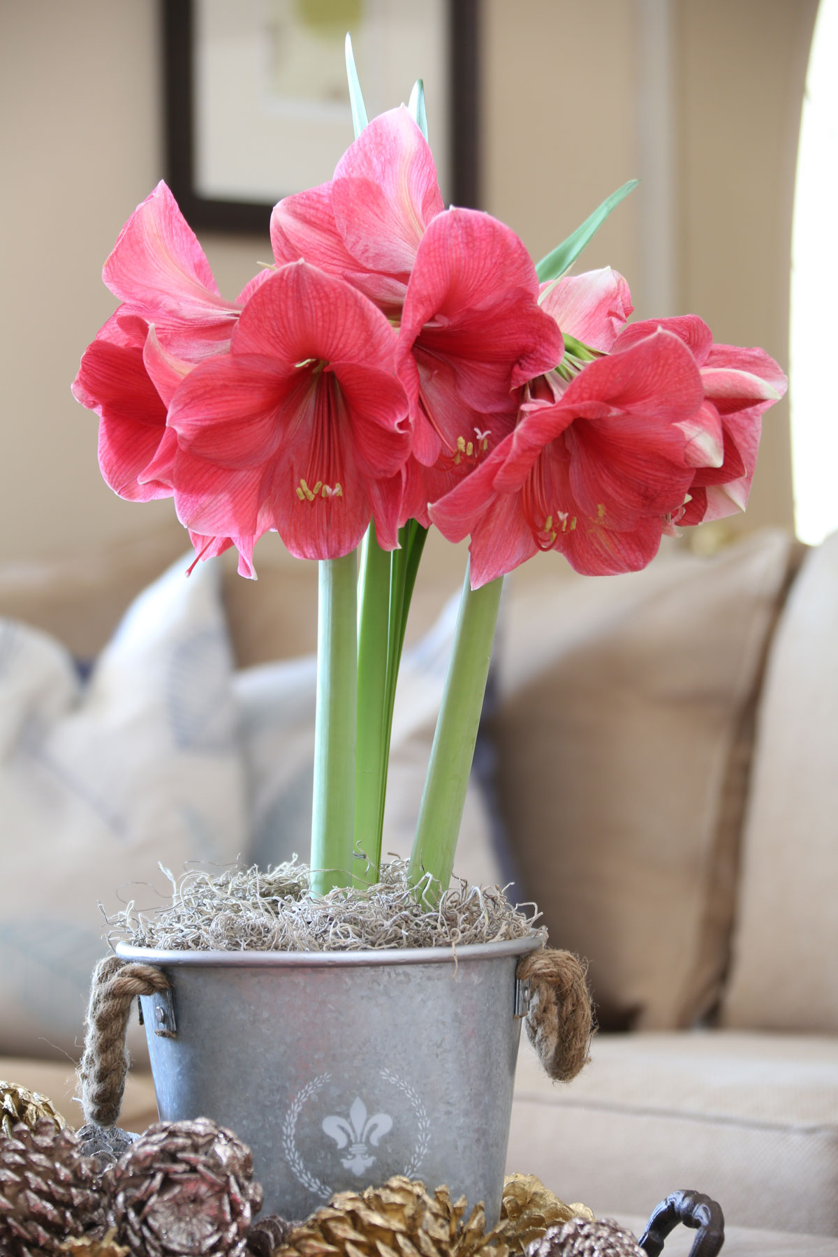 Decorating with Amaryllis and Paperwhites - Longfield Gardens