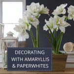 Decorating with Amaryllis and Paperwhites