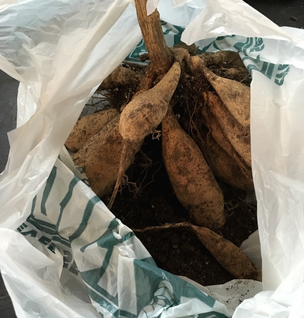 clump of dahlia tubers stored in plastic bag