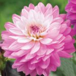 New Dahlias for 2016