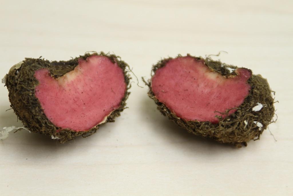 begonia tuber cut in half