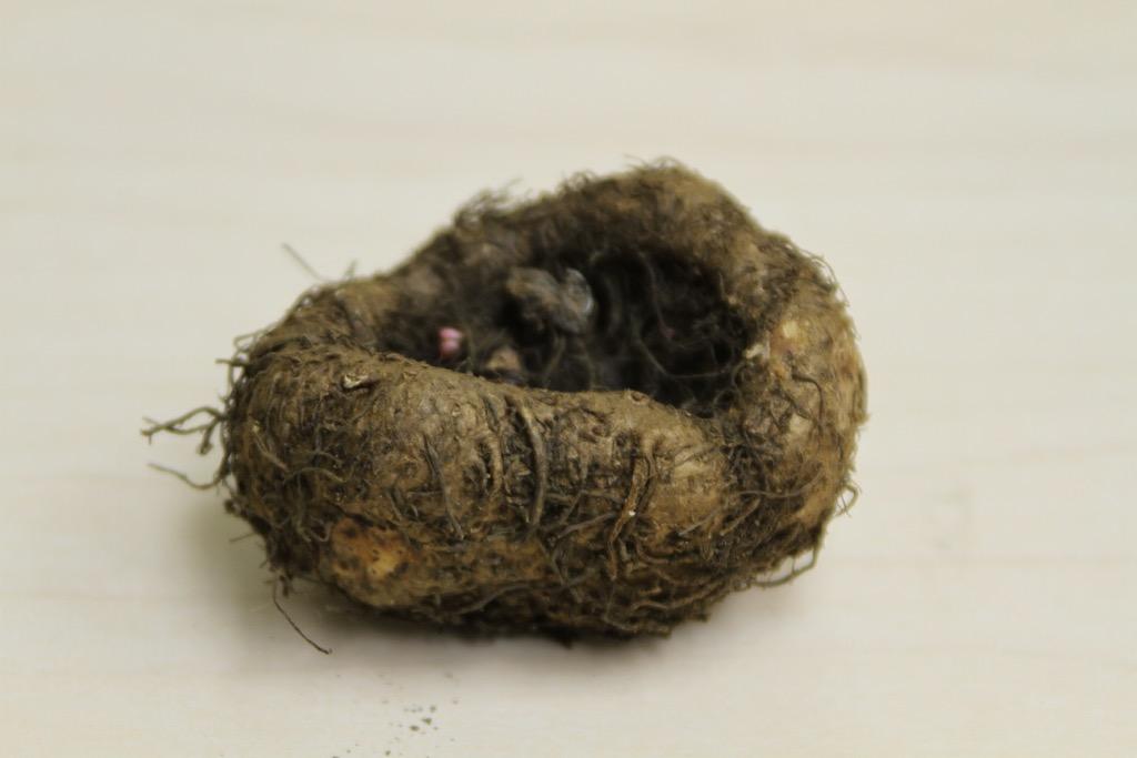 tuberous begonia tuber
