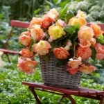 Planting Tuberous Begonias: Which End Is Up?