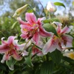 Make Way for Lilies: How to Fit More Lily Bulbs in Your Garden