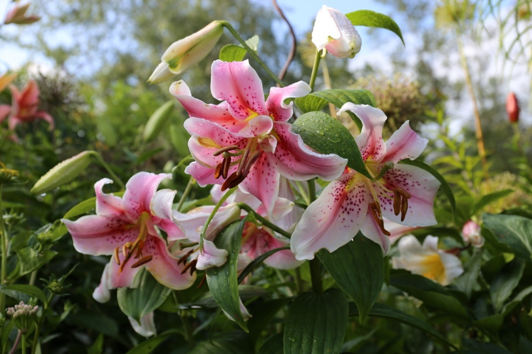 How to Fit More Lily Bulbs In Your Garden - Longfield Gardens