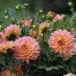 Making an Impact With Border Dahlias