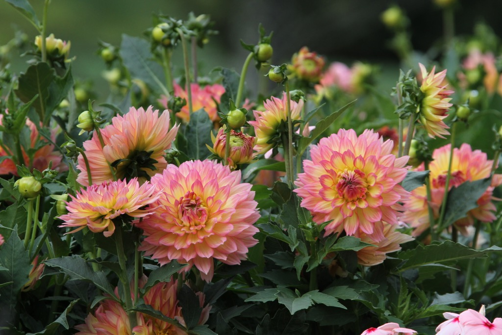Making An Impact With Border Dahlias Longfield Gardens
