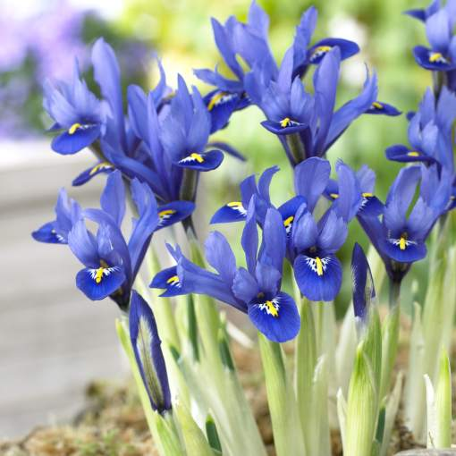 Iris_reticulata_Harmony.jpg