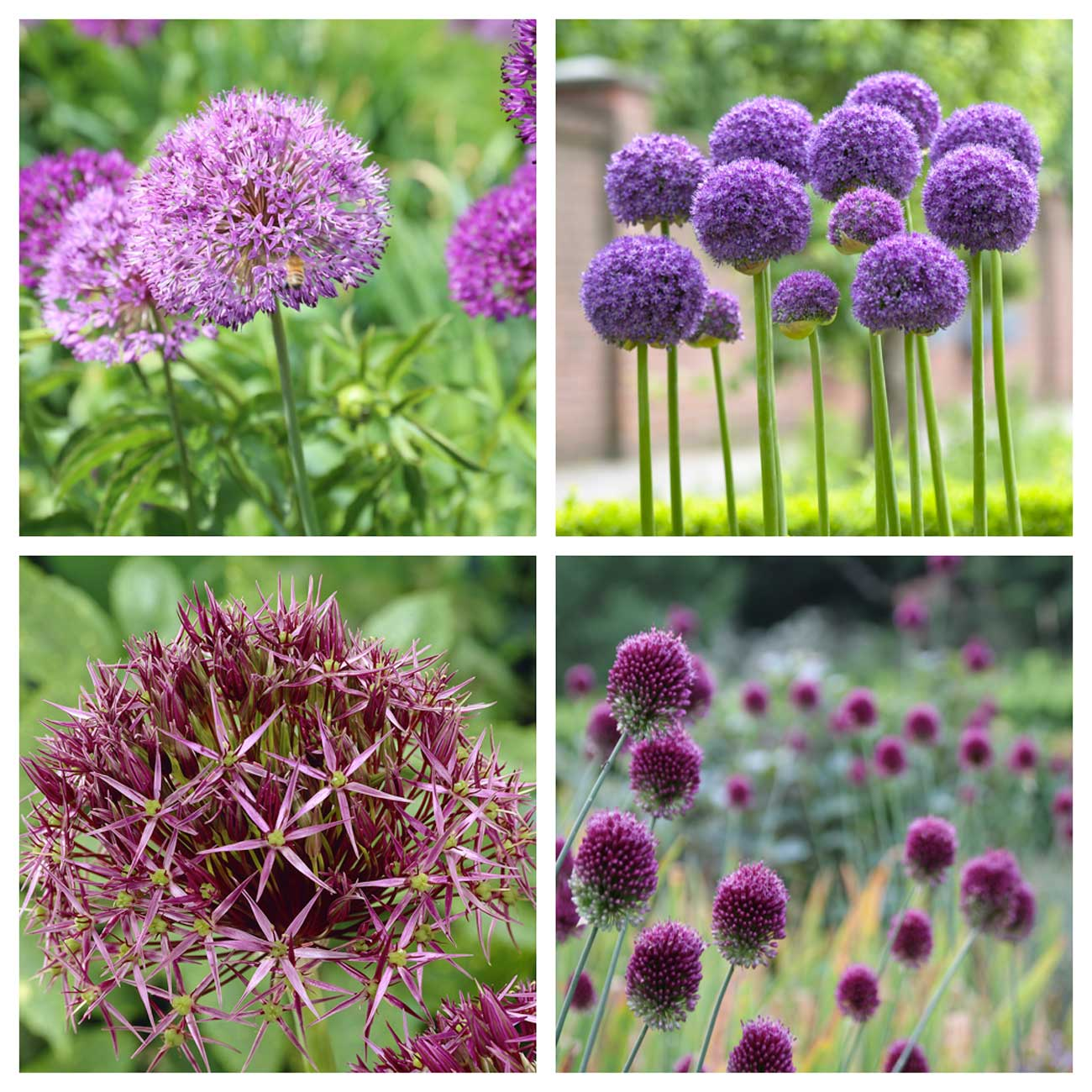 allium-varieties.jpg