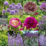 Love Alliums? See How a Garden Designer Puts Them to Work