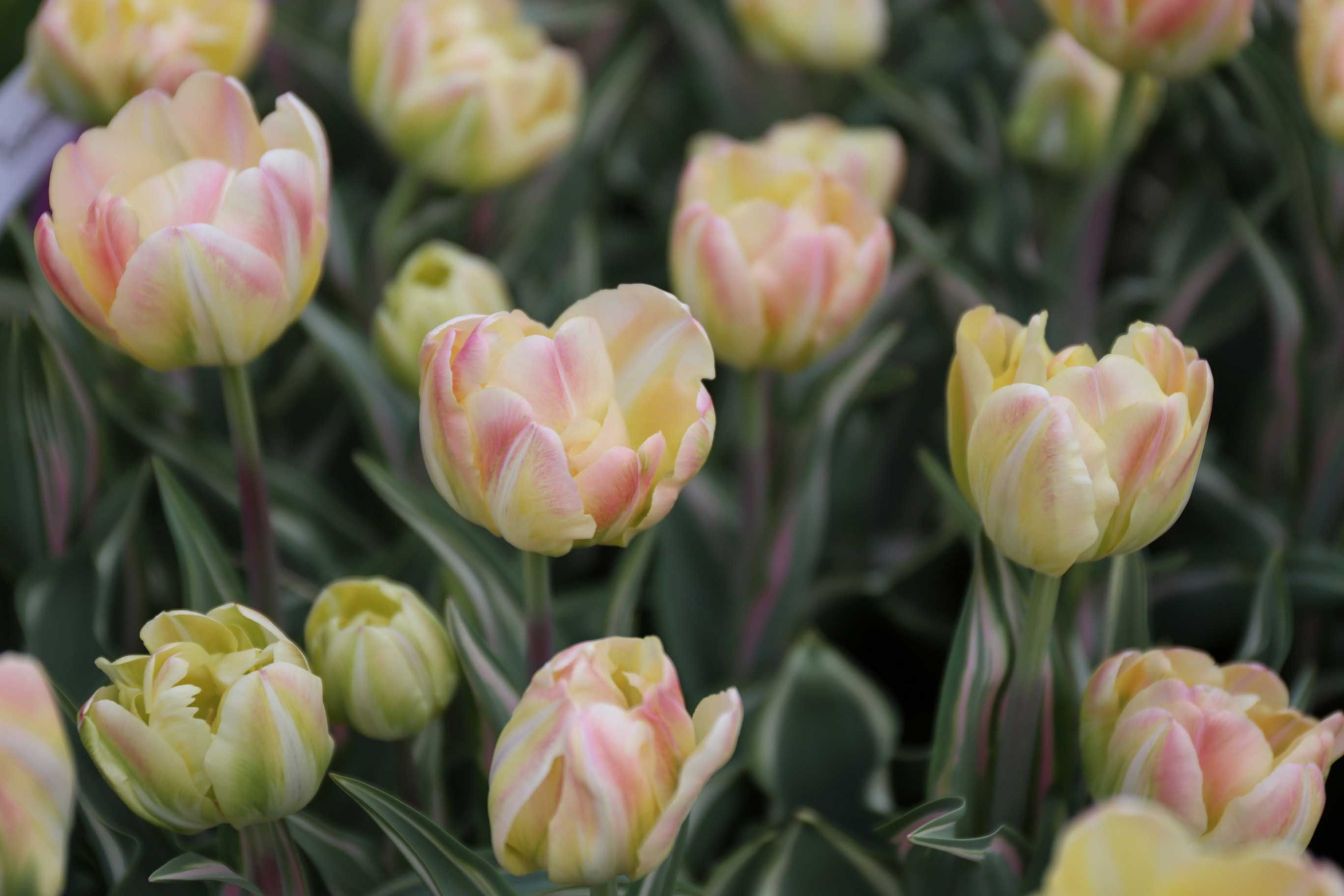 What Were Your Favorite Spring Bulbs Longfield Gardens