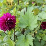 Planting Dahlias in Your Vegetable Garden
