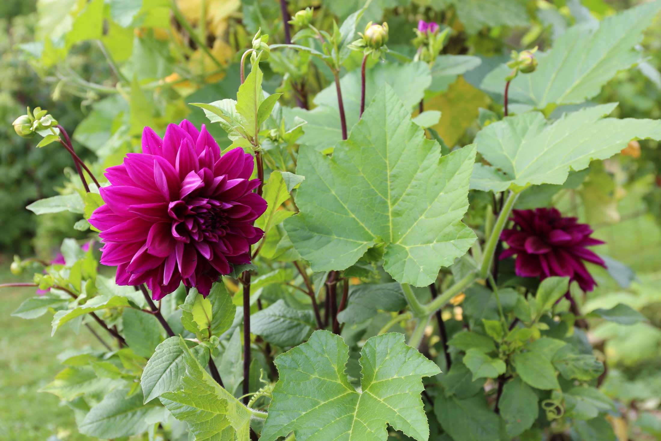 Planting Dahlias In Your Vegetable Garden Longfield Gardens