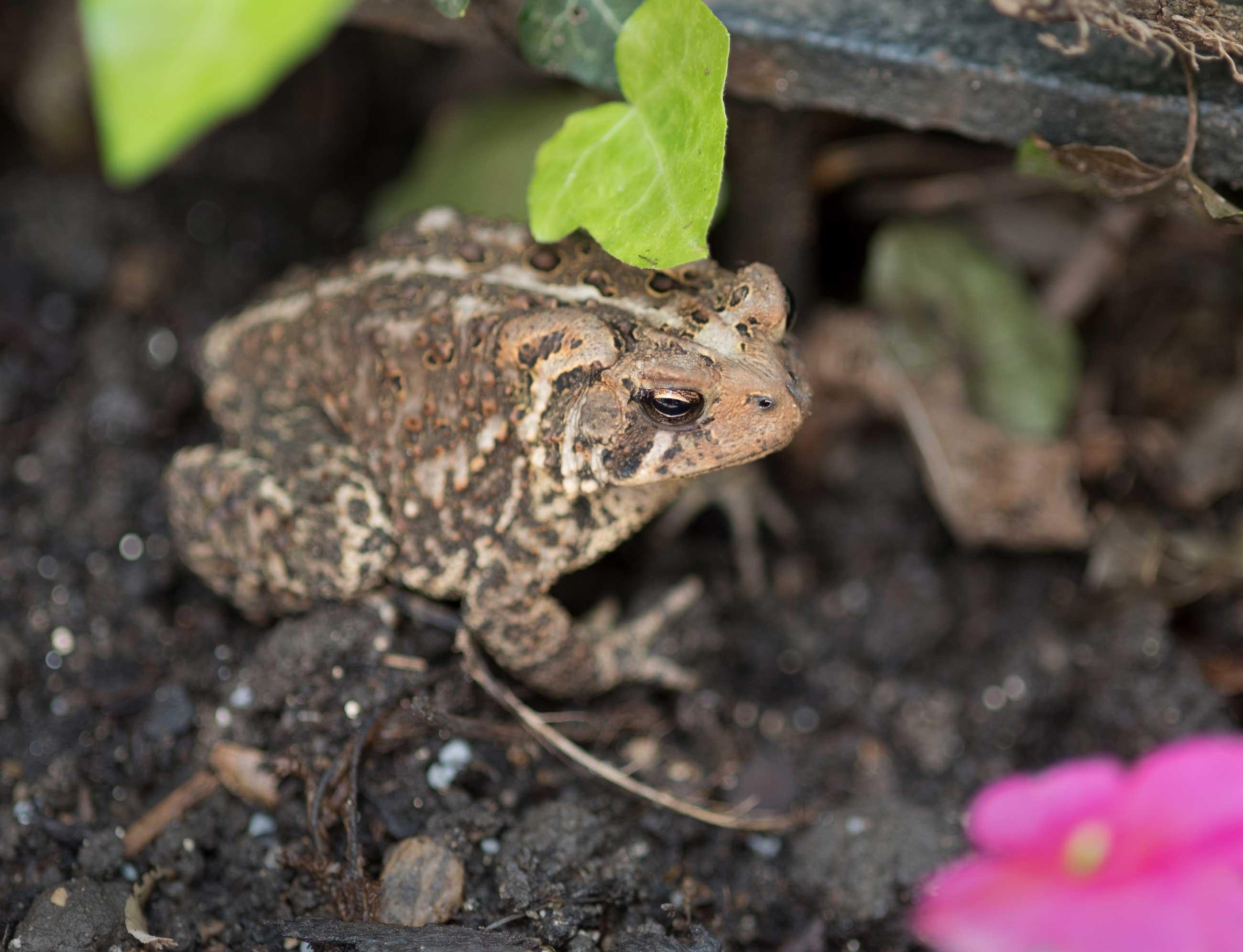 garden-toad.jpg