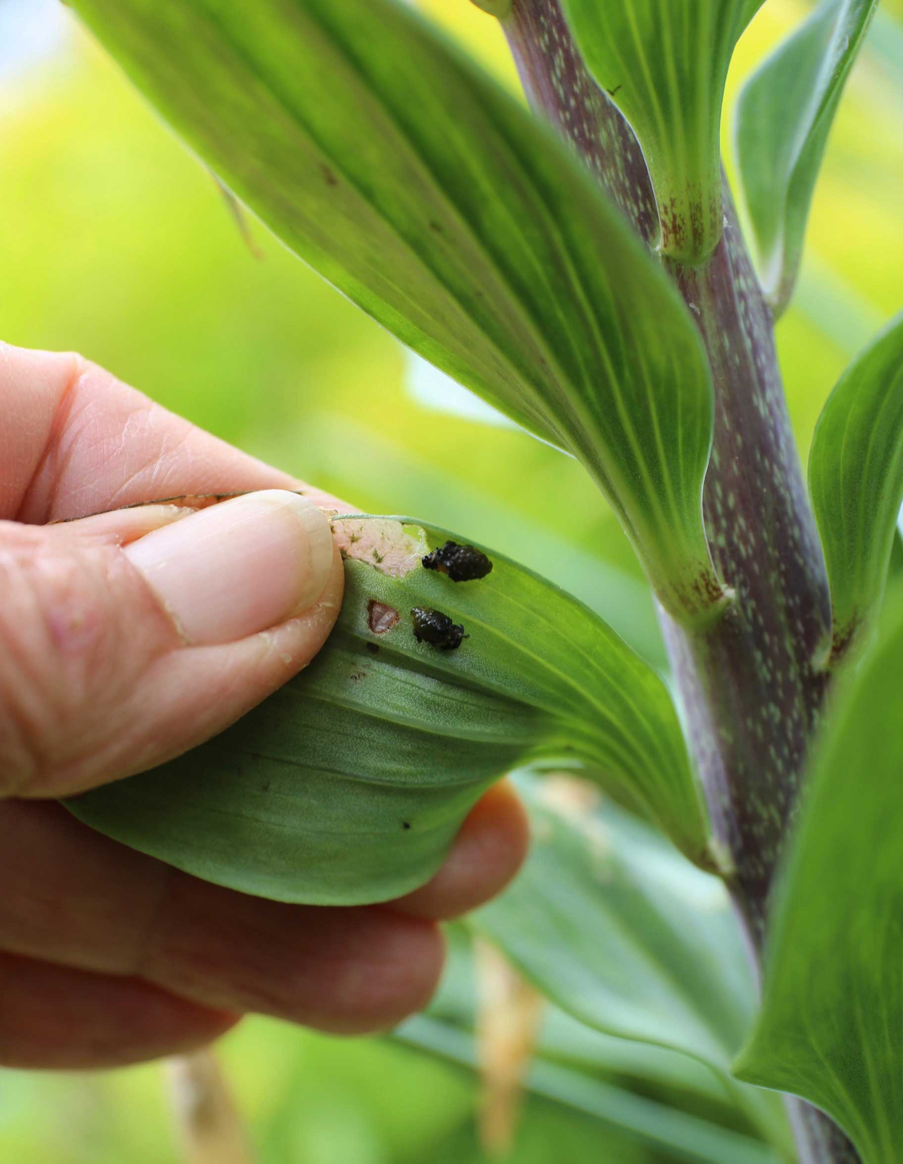 How to Control Lily Leaf Beetle - Longfield Gardens