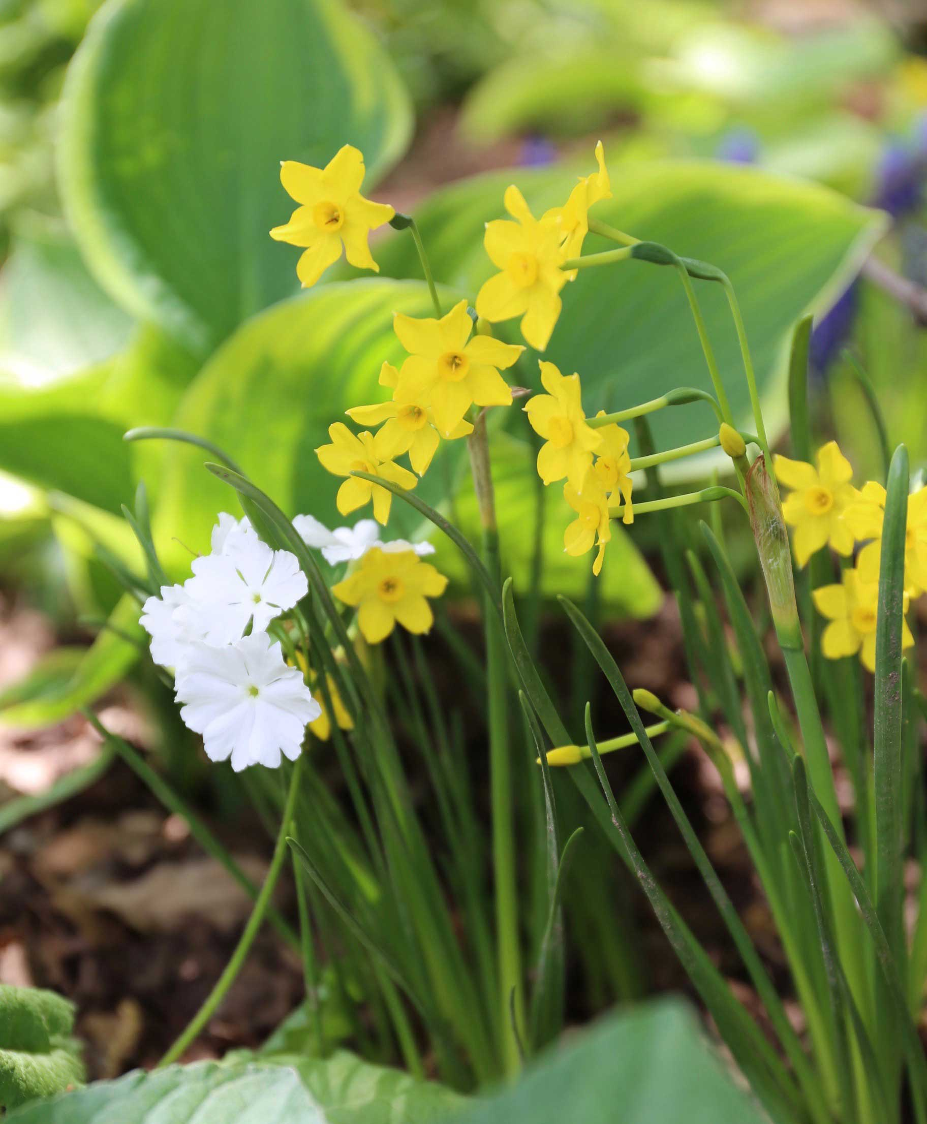 miniature-daffodil.jpg