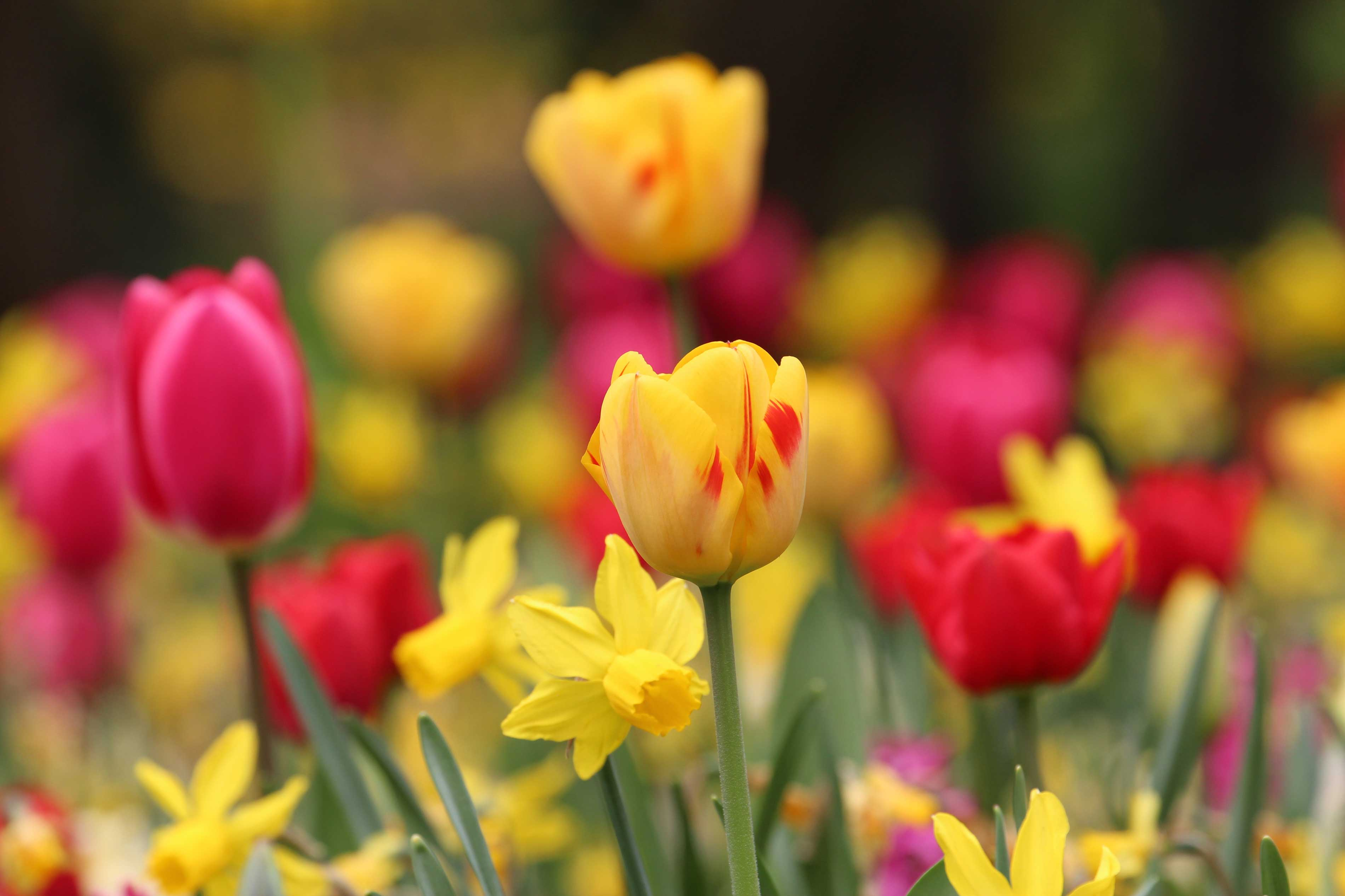 Aftercare tips for spring bulbs longfield gardens for Tulipe bulbe
