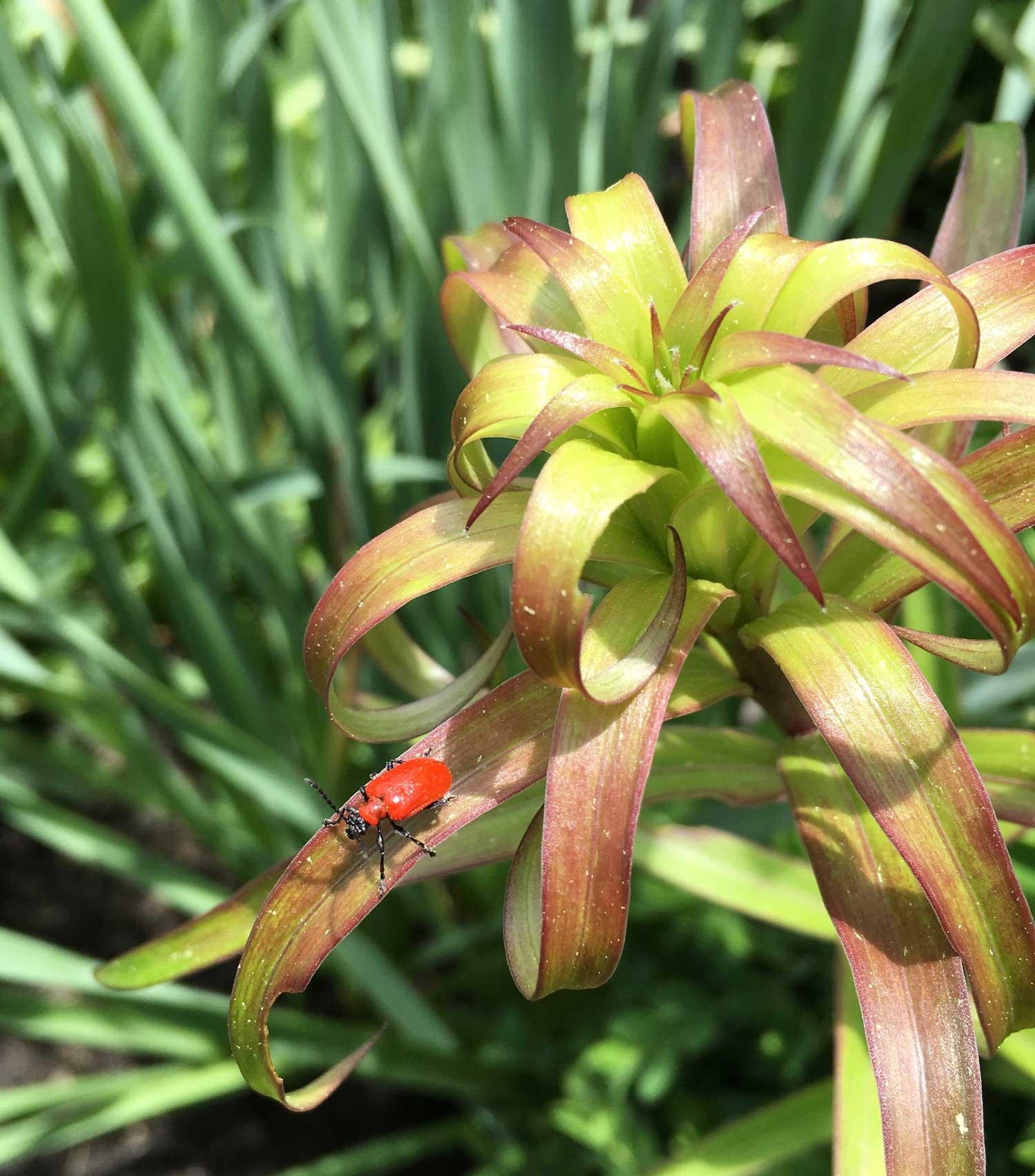 How to control red lily leaf beetles longfield gardens izmirmasajfo