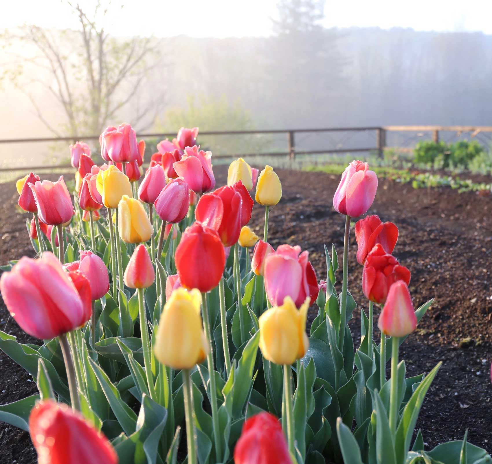 tulips-in-vegetable-garden.jpg