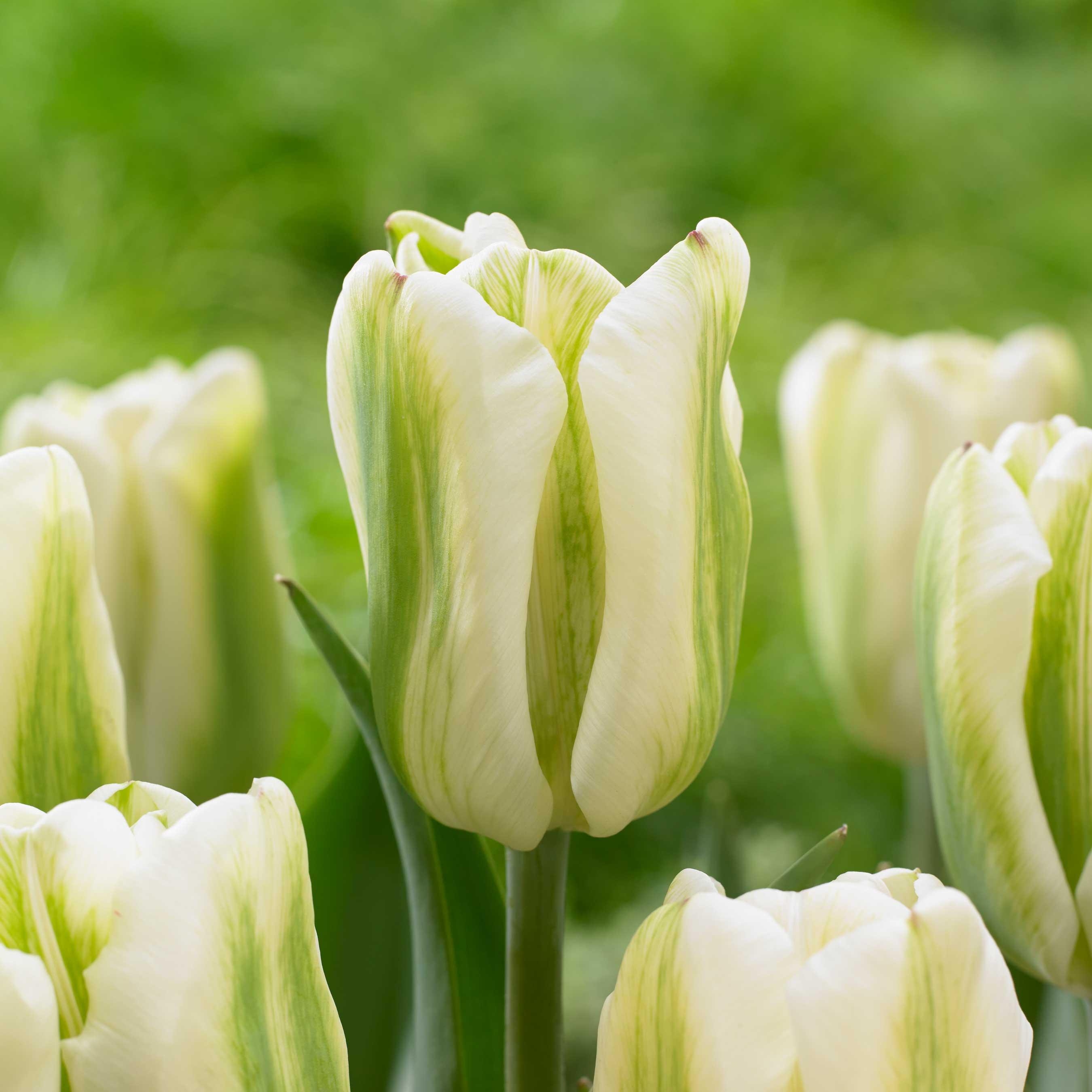 01-Tulipa-Green-Spirit.jpg
