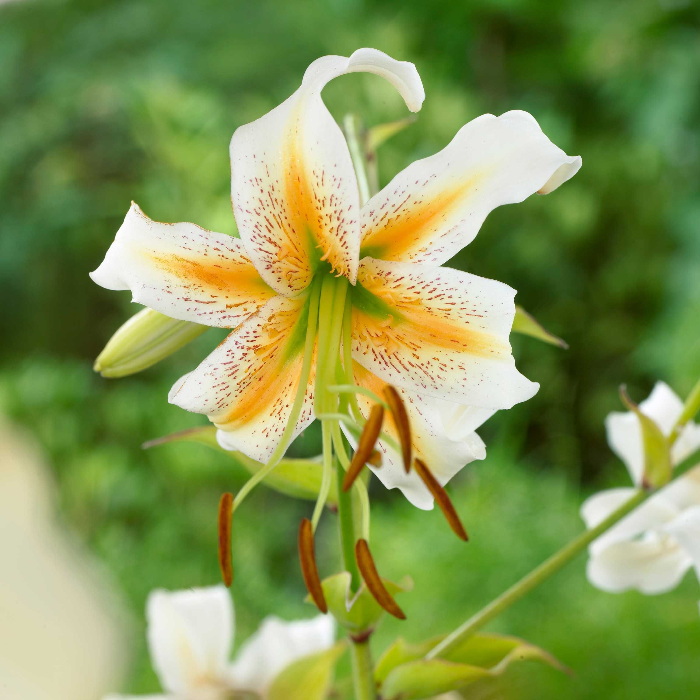 Know your lilies asiatics orientals trumpets and more lilium lady aliceg izmirmasajfo