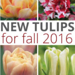 New Tulip Bulbs for Fall 2016