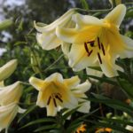 Know Your Lilies: Asiatics, Orientals, Trumpets and More!