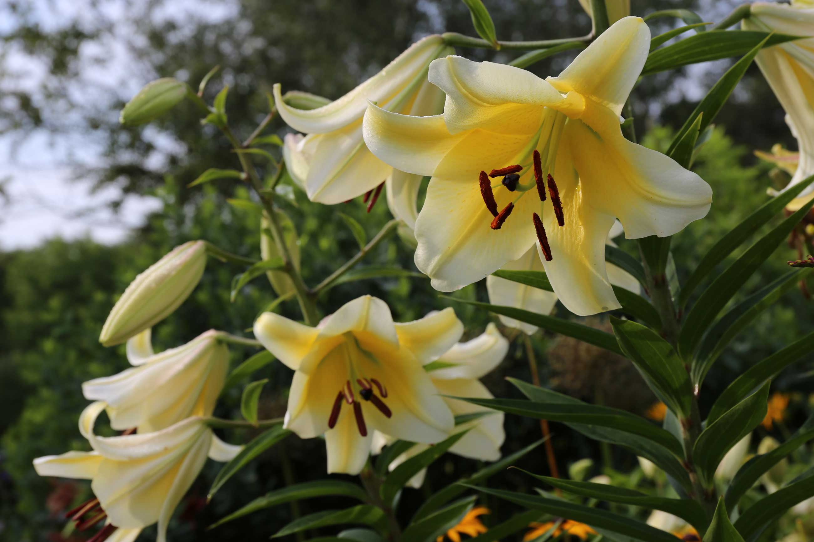 Know your lilies asiatics orientals trumpets and more know your lilies asiatics orientals trumpets and more longfield gardens izmirmasajfo