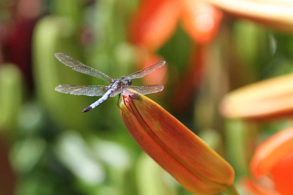 dragonfly-on-lily-bud.jpg