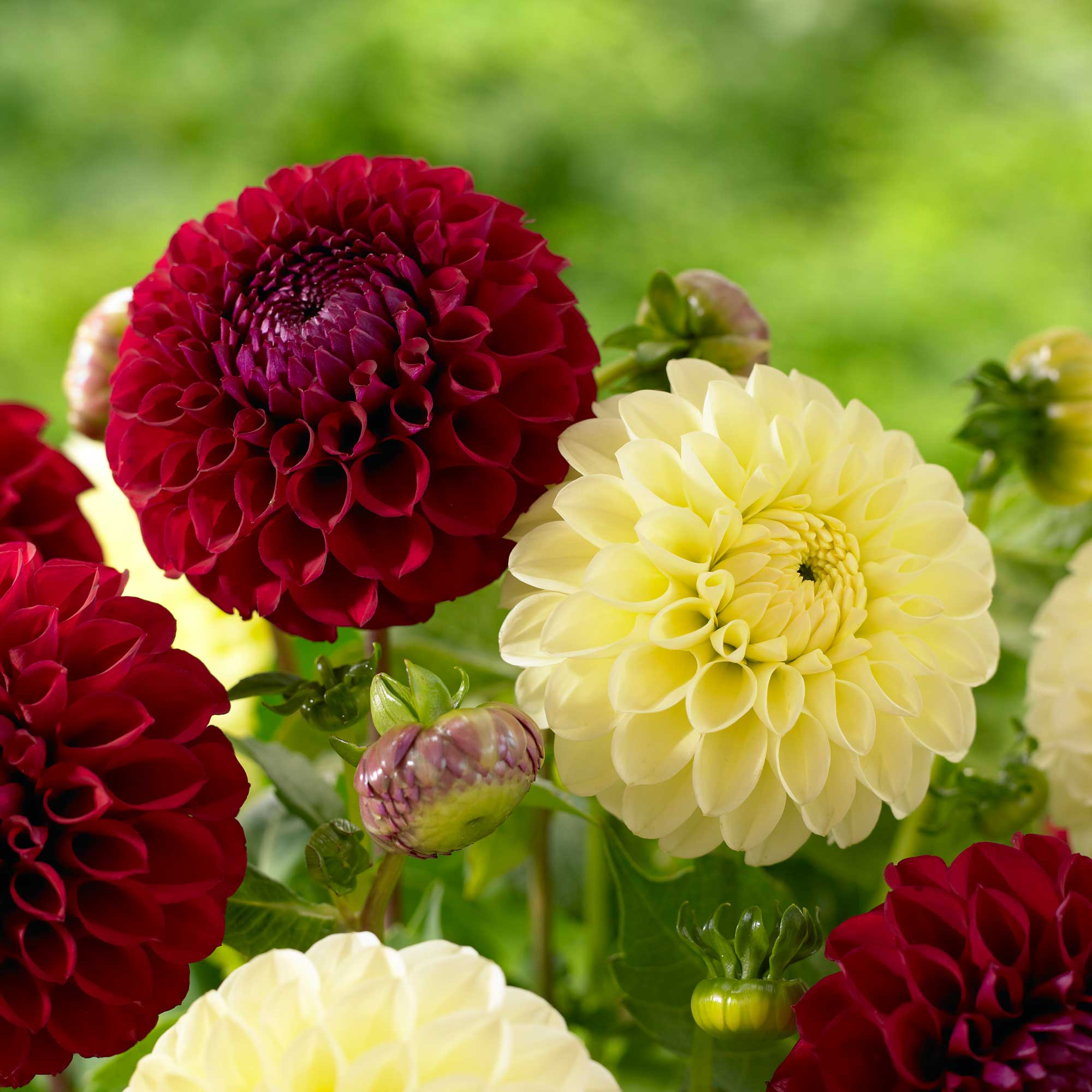 Know your dahlias flower styles and sizes longfield gardens dahlia ball pom pong izmirmasajfo