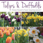Long-Lasting Tulips and Daffodils? Start Here